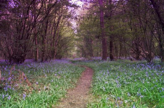 Bluebell Woods Stock 15 by Sassy-Stock