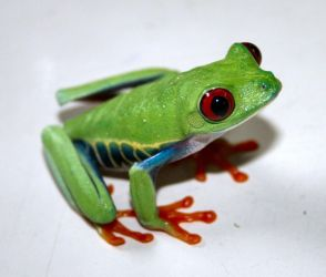 Red Eyed Tree Frog  3 by pdxcabby