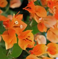 Orange Bougainvillea by Egil21