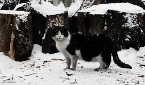 Black n White Cat by dpaulo