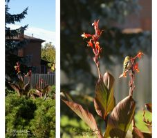 Goldfinches and Calla Lilies by brightling