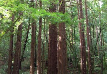 redwoods 1 by shyfoxling