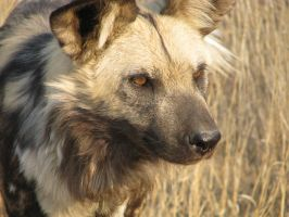 wild dog 6 by my5tery