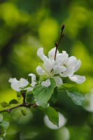 White Spring Blossom by Heidi-V-Art