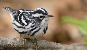 Black and White Warbler 001 by Elluka-brendmer