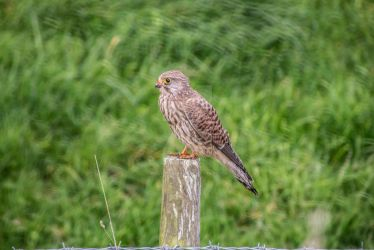 The Common Kestrel by Shell-Buchanan