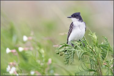 Eastern Kingbird by kootenayphotos