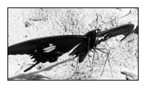 butterfly in black white 2 by chinlop