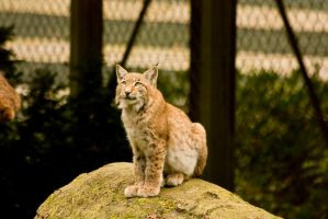 Olderdissen 14 . Lynx 002 by Dark-Wolfs-Stock