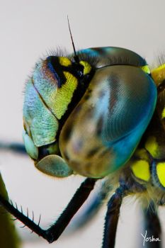 Eye to eye with a dragonfly by YoshaPhotography