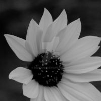 Bnw Sunflower Close Up by redryu82