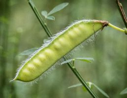 Hairy vetch by sequential