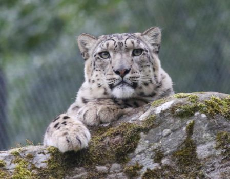 Snow Leopard by NurturingNaturesGift