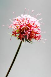 Red and Grey Flower by tpphotography