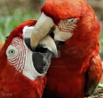 Macaw love by eskimoblueboy