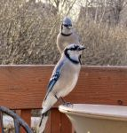 this morning a pair of blue Jays by Nipntuck3