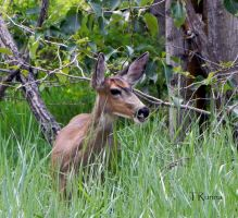 Mule Deer by TRunna