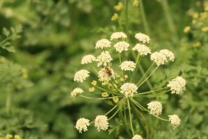 Bee on umbel by Indiliel