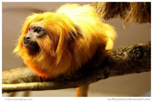 Golden Marmoset by In-the-picture