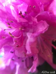 Macro Rhododendron by AliDee33