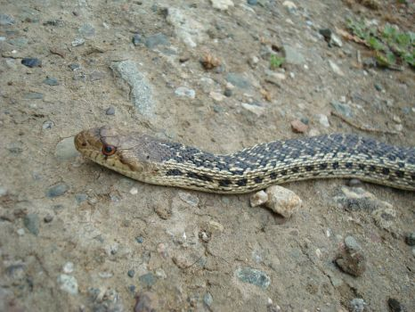 Pacific gopher snake by Sphenacodon