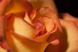 Two Tone Rose Up Close by dworld