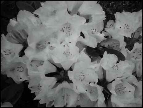 Black Hearted Rhododendron by laura-worldwide