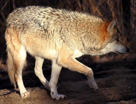 Mexican Wolf Stock 25 by HOTNStock