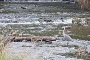 Heron on the Hunt - 2013 by insanity-pillz