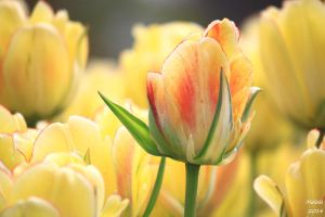 Tulips2 by MDDahl