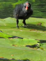 Moorhen chick by handtoeye