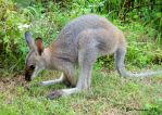 Baby Red Necked Wallaby II by BreeSpawn