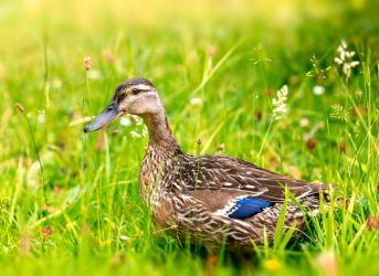 Just A Duck by ian-roberts