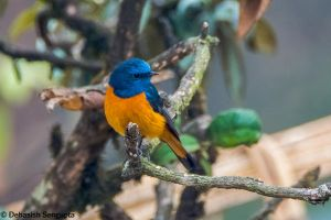Blue-fronted Redstart by DebasishPhotos