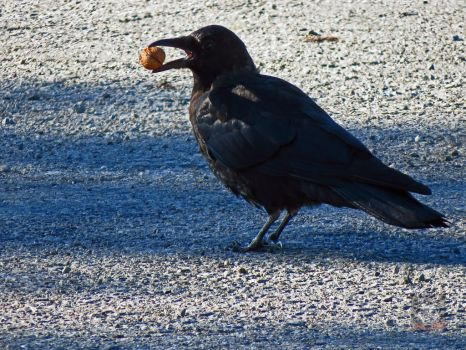 A Nutty Crow by wolfwings1