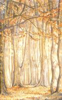 Beech Trees in Autumn by ForestEdgeFineArt