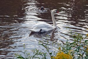 Swan 3 by LucieG-Stock