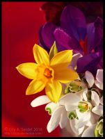 Lent Lily by Lilyas