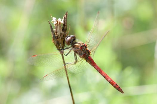Red Dragonfly 2 by QuadWord