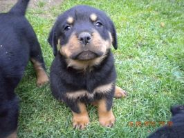 Rottweiler puppy by Whispery