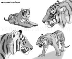 Tiger Sketches by Vawie-Art