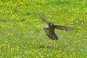 Flight of the Falcon by carterr