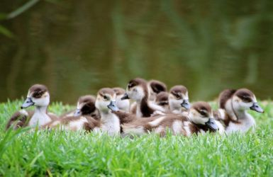 A plump of ducklings. by MaresaSinclair