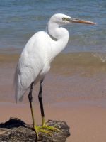 Reef Egret by lucybaxter