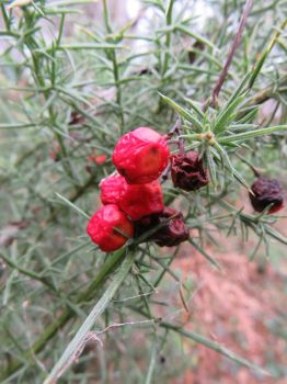 Red berries by Tish-Underwood