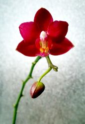Orchid by LIP-Photography