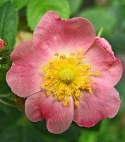 Pink Mossrose by Inianna