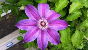 Clematis by TheRebelWithNoCause