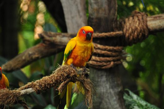 Napping Sun Conure by Timocool