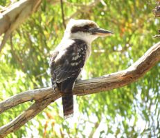 laughing kookaburra by kiwipics